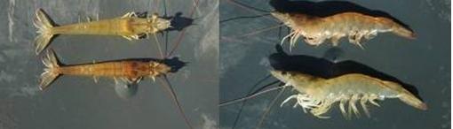 ILa ciencia y la sanidad acuícola: cultivo de camarón